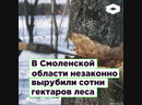 В Смоленской области незаконно вырубили сотни гектаров леса. Гринпис бьет тревогу | ROMB