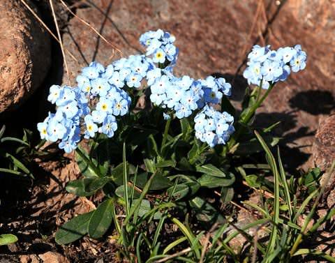Незабудки Незабудку из семейства Бурачниковых часто называют королевой мая. Полянки небесного оттенка появляются поздней весной на лесных опушках и лугах, но это дикие виды. Многие цветоводы уже
