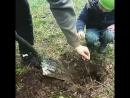 Сажаем с детьми дубы и кедры возле дома, в Черниковке