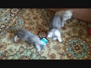 Продаем шотландских прямоухих котят