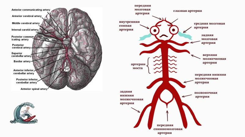 Кровоснабжение головного мозга. Виллизиев круг. Мнемоника
