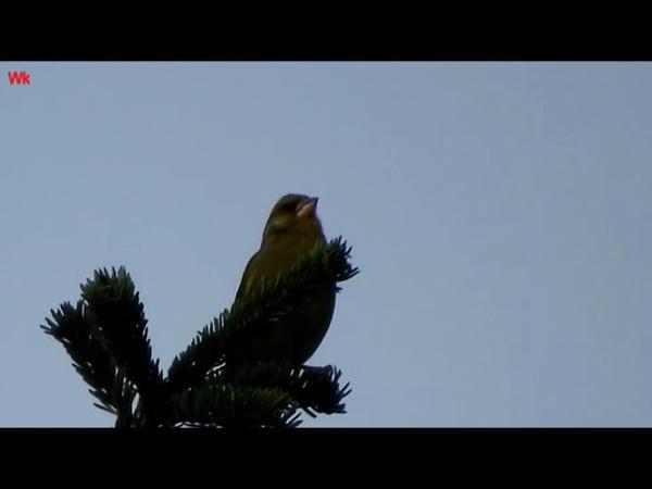 Обыкновенная зеленушка (нем. Grünfink, auch Grünling genannt) (анг. Greenfinch)