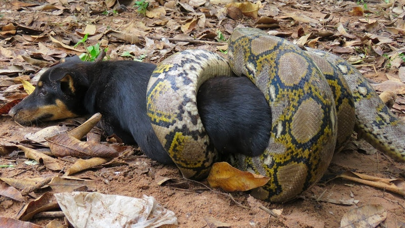 Primitive Man Rescues Dog From Python Snake - Humans Saved Dog From Giant Python Attack