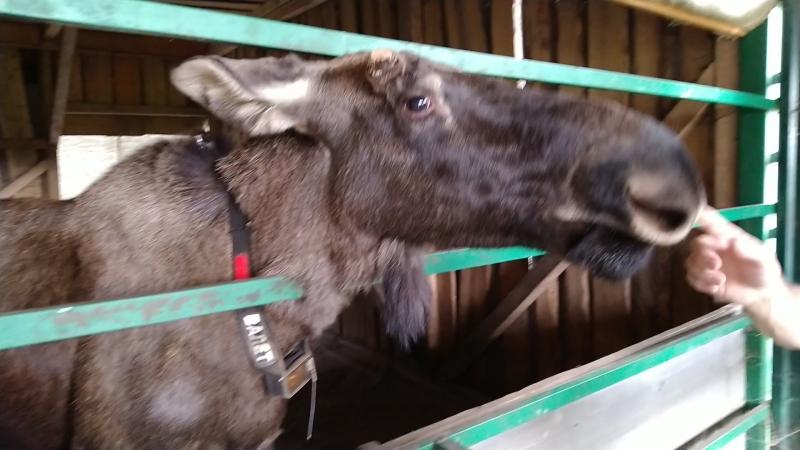 Кормление лосей на сумароковской лосеферме около Костромы
