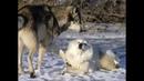 Гера Грач клип песня Волк