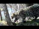 Дальневосточные леопарды
