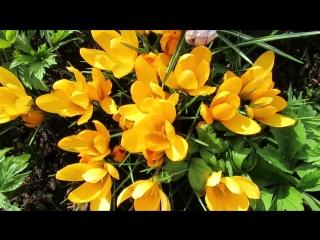 MVI_5970 крокусы микс,белые,желтые. Птицы уже прилетели,радуются весне