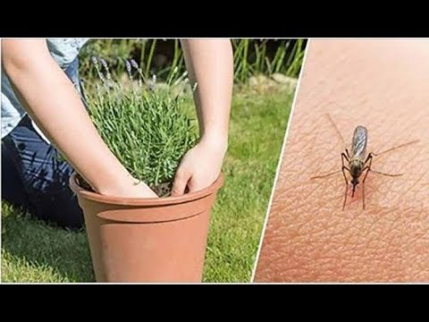 Если вы хотите избавиться от комаров, начните выращивать эти растения на заднем дворе!
