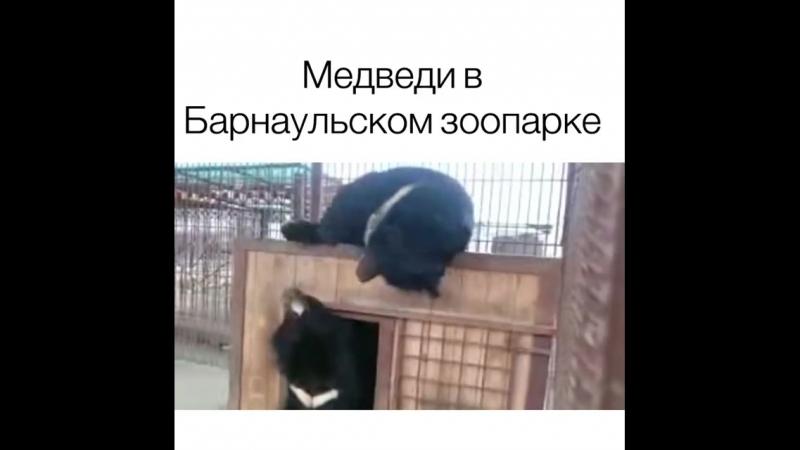 Медведи в Барнаульском зоопарке