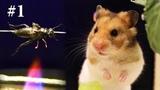 Hamster Eating #1 Cook Roast Cricket for Hamster myANIMAL
