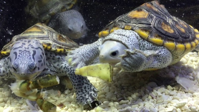 Malaclemys terrapin like to eat crab