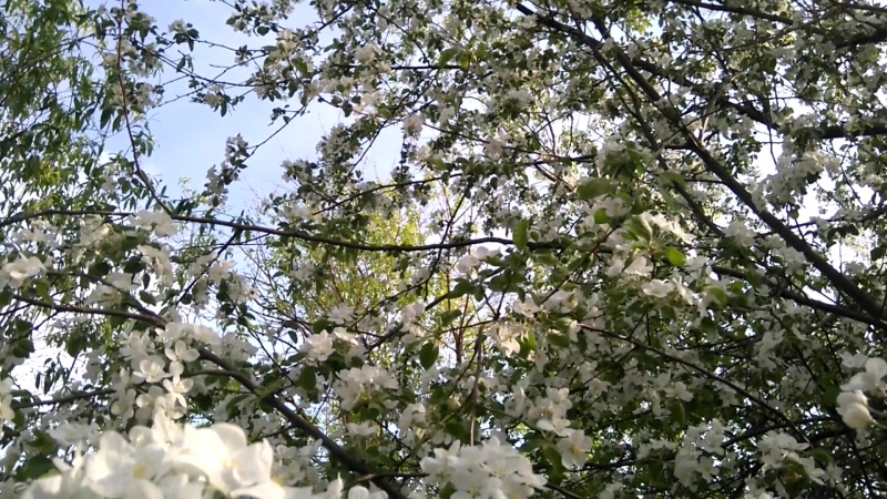 Футаж Ветви яблони