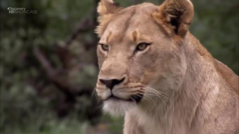 Дикая Африка. Опасные животные. Документальный фильм. national geographic, nat geo, discovery, bbc