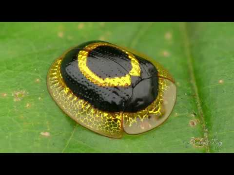 Golden Target Tortoise Beetle from Ecuador