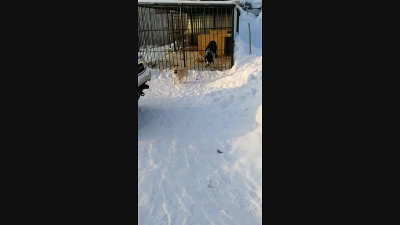 ТИМЕРТАШ ШУНКАР (Новосибирск)  сын Яны и Лондона (Вит Бир Ягана Зауральский Медведь Лондон) Еще больше фото и информации на са