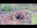 Медведь ловит бурундуков интересное видео случай на охоте дикие животные спорт экстрим