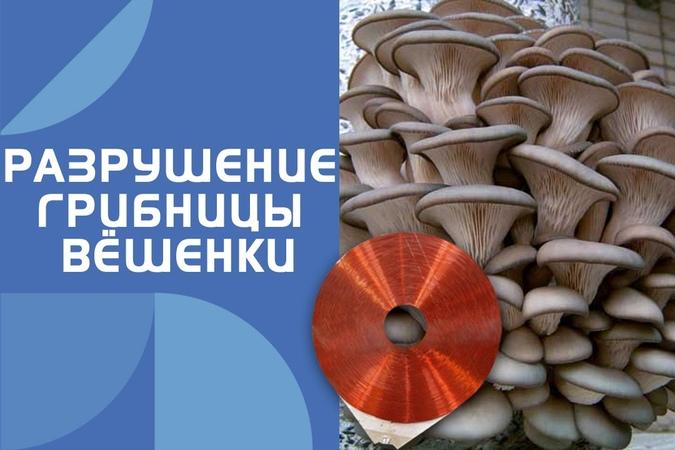 22 Воздействие катушки Мишина на грибницу вёшенки. (вихревая медицина)
