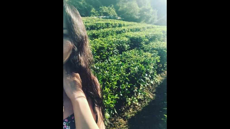 Чайная плантация Сочи🍃