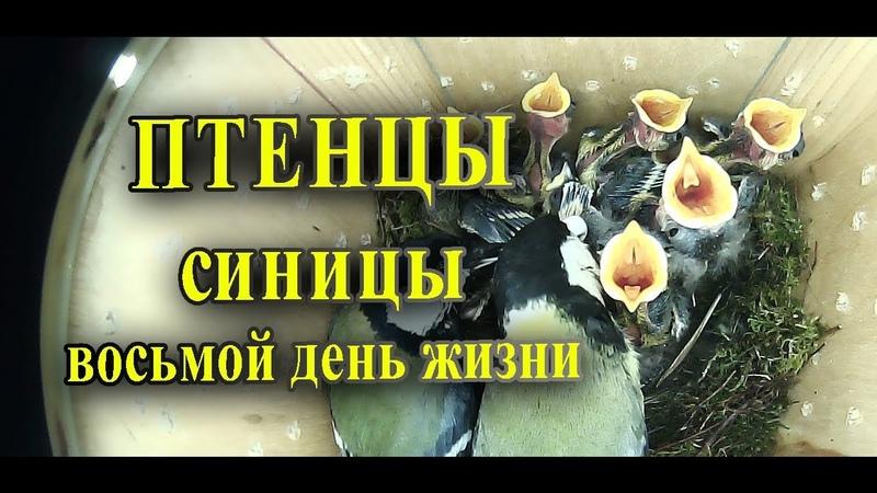 Птенцы синицы в скворечнике восьмой день жизни / Таймлапс наблюдение за птицами