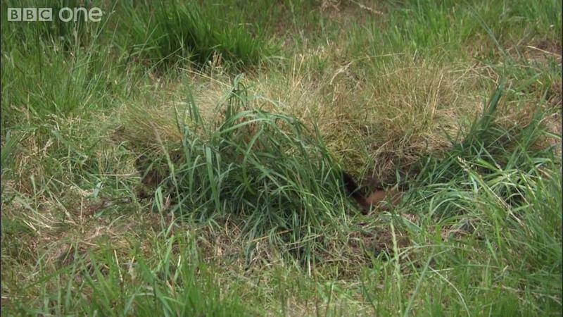 Life - Stoat kills rabbit ten times its size - BBC One