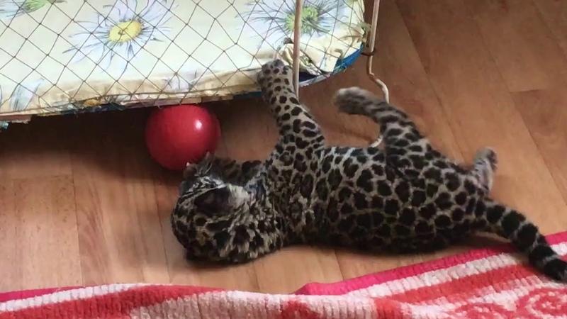 Ягуар Ёжик футболист Jaguar Hedgehog player