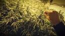 Нелегальная ферма конопли в США. Какой штраф, цена постройки, прибыль, риски.