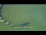 Грязевая ловушка, или Как охотятся дельфины