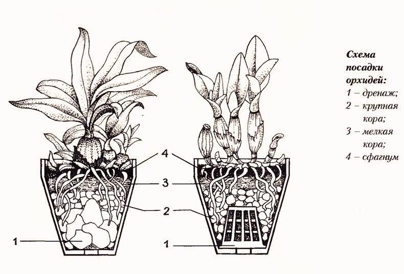 орхидея или фаленопсис - Страница 2 G3R4x40f53o