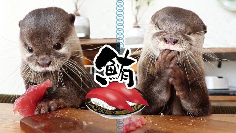 カワウソ コタロー マグロの刺身はこうやって食べる Kotaro the Otter Eating Tuna Sashimi