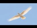 Золотой песок и белый ворон...