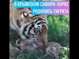 Тигрята в крымском сафари-парке «Тайган»