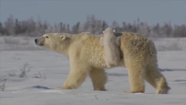 Cute polar bear cubs lovin' up their mamma coub