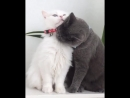 Это любовь (хорошее настроение, романтика, веселое домашнее видео, домашние кошки, кот, киса, киска, ошейник, ухаживает, огонь).