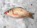 Зимняя рыбалка на карася со льда. Уроки ловли от профи
