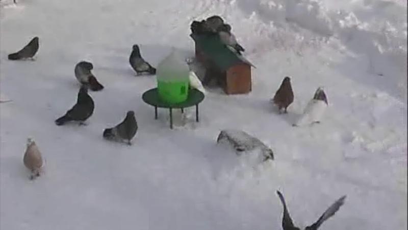 (в гостях у Соломона 2006 г)из архива заводчика кировоградских голубей Веселова Игоря Валентиновича