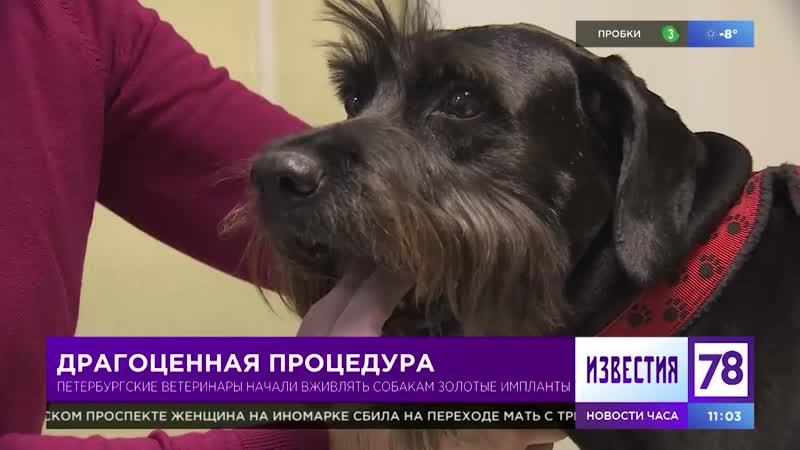 Петербургские ветеринары начали вживлять собакам золотые импланты