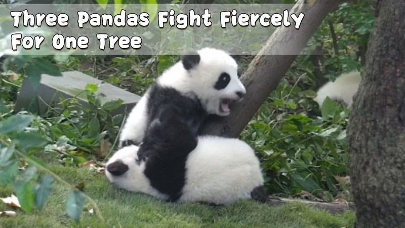 Three Pandas Fight Fiercely For One Tree | iPanda