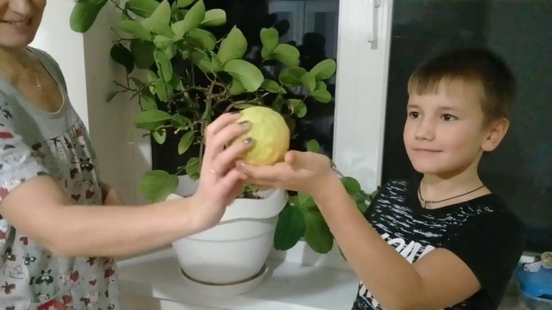 Домашние лимончики. Цитрусы на окне