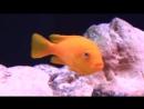 AFRICAN_CICHLIDSMOST_BEAUTIFUL_FRESHWATER_AQUARIUM_FISH.mp4