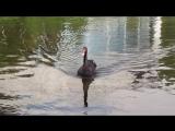 MVI_0221 Чёрный лебедь в пруду на Крестовском острове