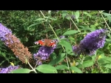 The Butterflies Partying On My Butterfly Bush