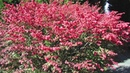 Fast Growing Burning Bushes Simply Breathtaking Fall Brilliance