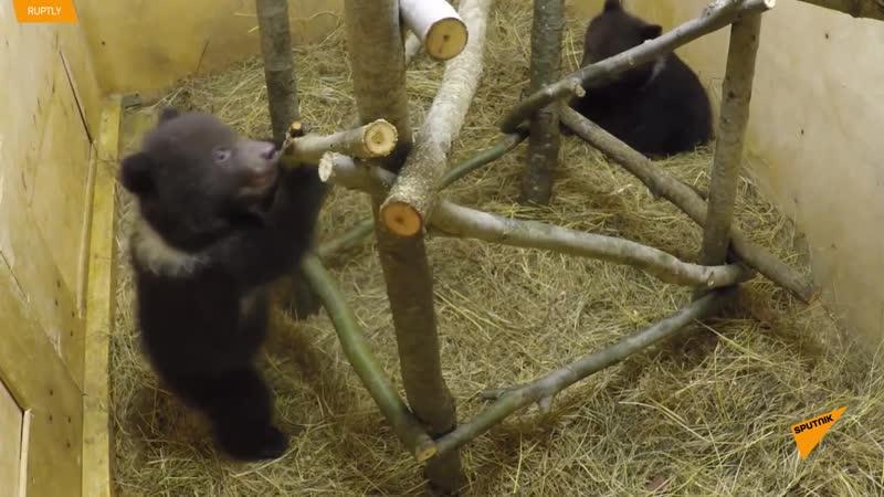 Десять медвежат делают первые шаги в Центре спасения в Тверской области