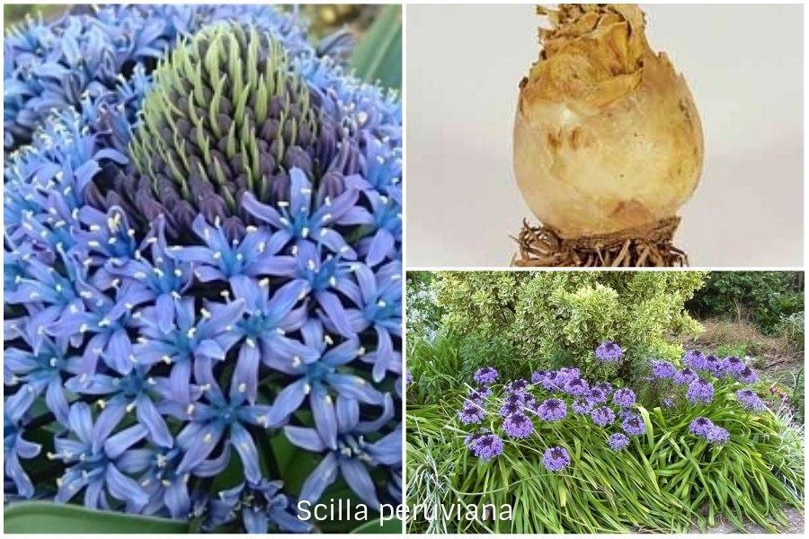 Пролеска или сцилла в вашем в саду
