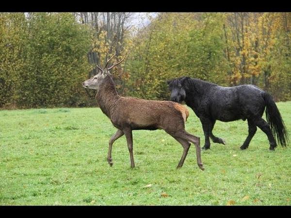 Un cerf abattu parce qu'il aimait trop les poneys