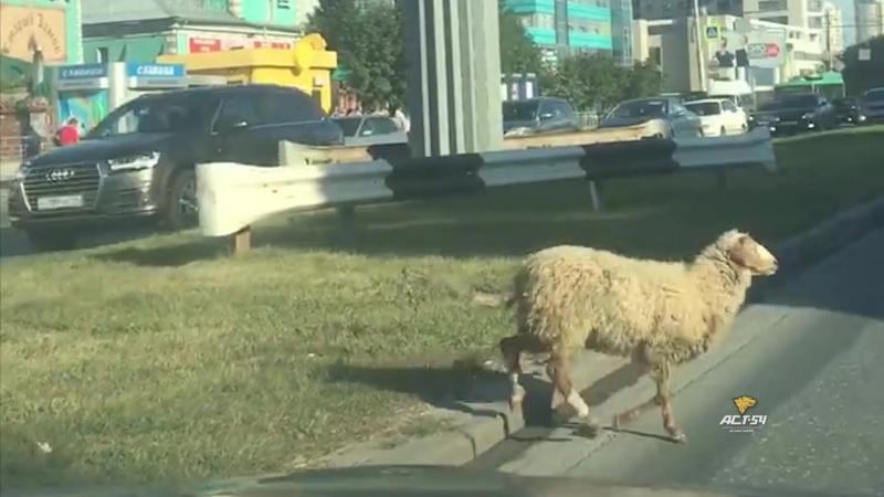 Овца сбежала