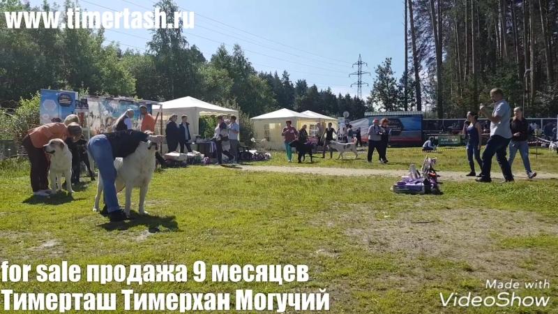 For sale ПРОДАЖА  Тимерташ Тимерхан Могучий 9 месяцев  Доставка по всему миру www.timertash.ru