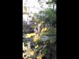 Химтрейлы. Новосибирск. Дуб. 18.08.2018. Е. Тардасова-Юн