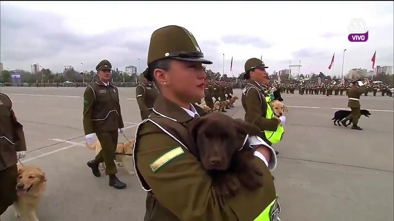 Los perritos de carabineros ovacionados en la Parada Militar