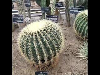 #Кактусы #Ботаническийсад #Балчик  #Побережьеболгарии  #Kaktus #cactus #Balchik #Bulgaria #localguides #teremlux